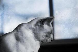 siamesisk katt i vinterfönstret foto