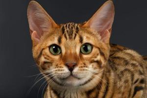 närbild Bengal katt tittar i kameran på svart foto