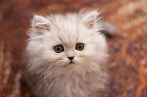 söt liten persisk kattunge foto
