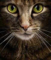 katt som stirrar in i kameran foto