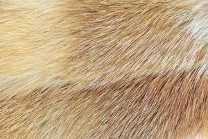 röd räv (vulpes sp.) pälsbakgrund foto