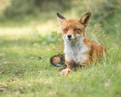 räven kopplar av i gräset foto
