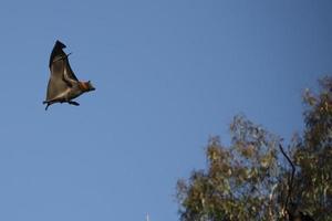 flygande räv foto