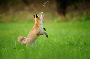 röd räv som kastar spökad mus på grönt gräs foto