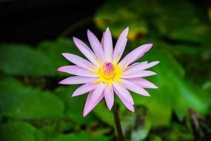 lotusblomma blomma