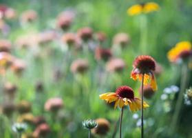 trädgård blomma röd gaillardia foto