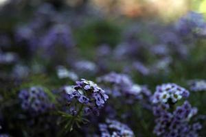 odlade blommor, trädgårdsblommor foto