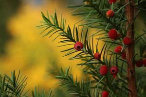 vintergröna bär foto