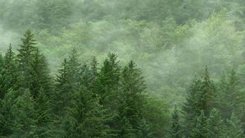 vintergrön skog i dimma bakgrund