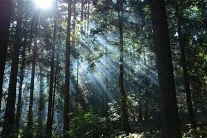 solstrålar i den vintergröna skogen