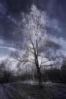björkträd foto