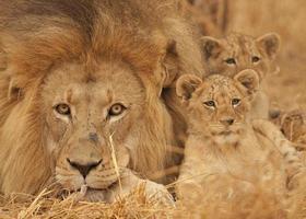 manlig lejon, gröngöling, Kruger nationalpark, Sydafrika. foto