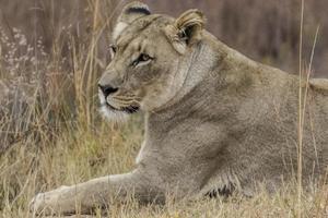 afrikansk lejoninna foto