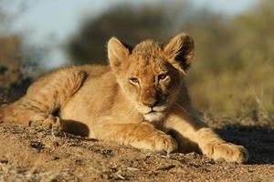 porträtt av en lejon unge foto