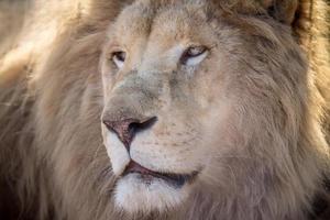 manliga vita lejon foto