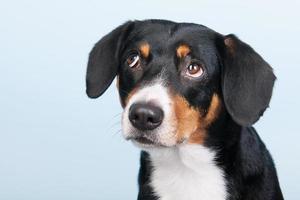 porträtt sennen hund foto