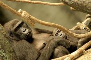 mor och baby gorilla foto