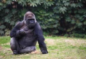 gorilla med dyster uttryck som sitter på ett gräs foto