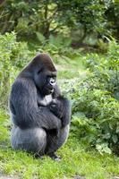 västra gorilla (gorilla gorilla) foto