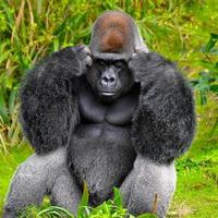 gorilla tänker foto