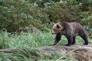 björn på träd foto