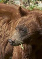 svart björn porträtt foto
