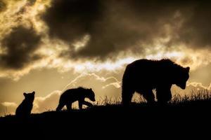 brunbjörn och ungar i solnedgången foto