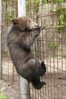 brunbjörn (ursus arctos) gröngöling foto