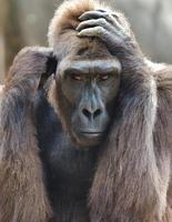 gorilla ansikte foto