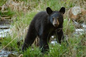 åring svartbjörn foto