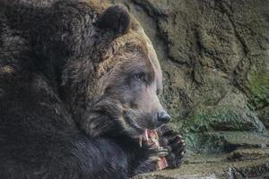 brunbjörn äter foto