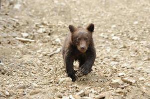brunbjörn foto