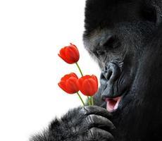 söt djur porträtt av en gorilla som håller röda tulpanblommor foto