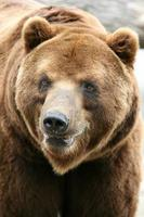 kamchatka brunbjörn foto