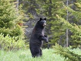 stående björn foto