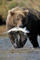 Grizzly björn foto