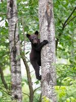 svarta björnungar foto
