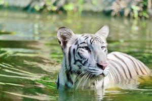 vit Bengal tiger foto