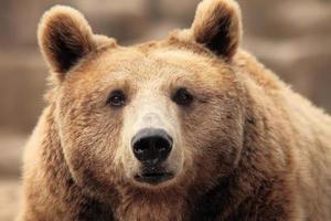 vild brunbjörn foto