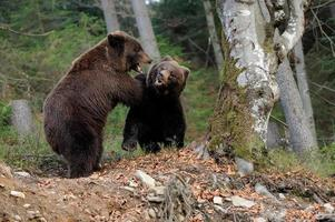 stor björn i skogen foto