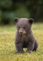 svartbjörn (ursus americanus) cub foto