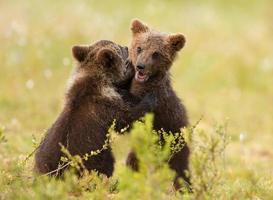 eurasisk brunbjörn (ursos arctos) ungar foto