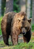 stor manlig brunbjörn foto