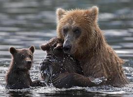 björnar foto