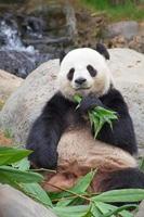 pandabjörn foto
