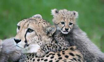 lilla cheetah och hans mamma foto