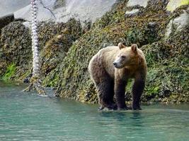 brun grizzlybjörn foto