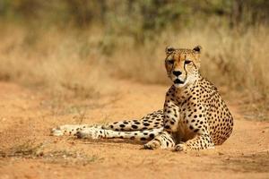 afrikansk gepard foto