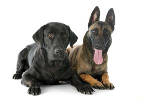 malinois och labrador retriever foto