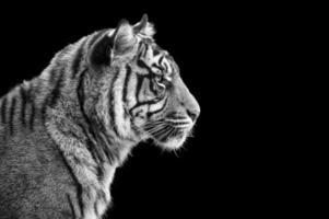 porträtt av sumatran tiger i svartvitt foto